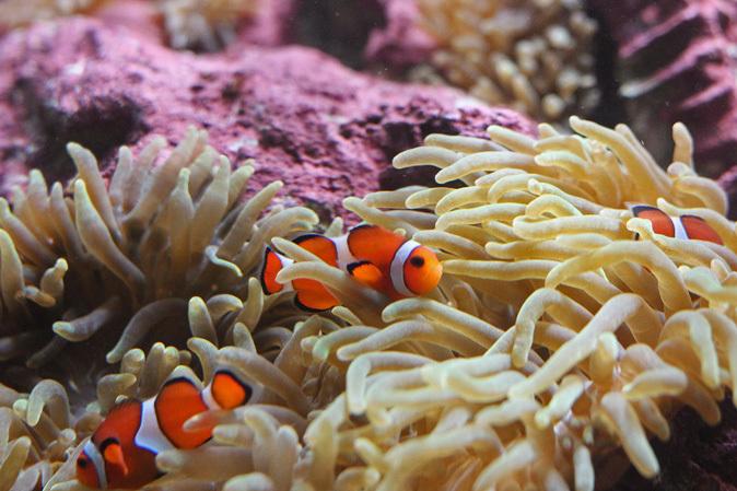しながわ水族館:カクレクマノミとサンゴイソギンチャク_b0355317_20125894.jpg