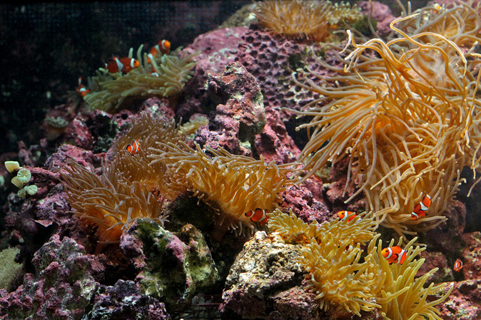 しながわ水族館:カクレクマノミとサンゴイソギンチャク_b0355317_20160402.jpg