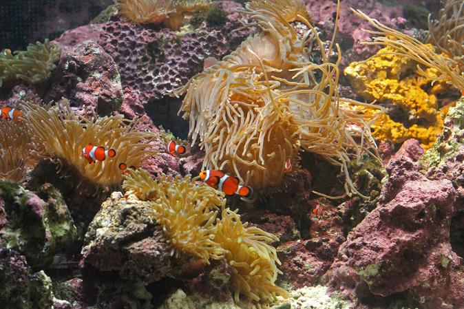 しながわ水族館:カクレクマノミとサンゴイソギンチャク_b0355317_20172397.jpg