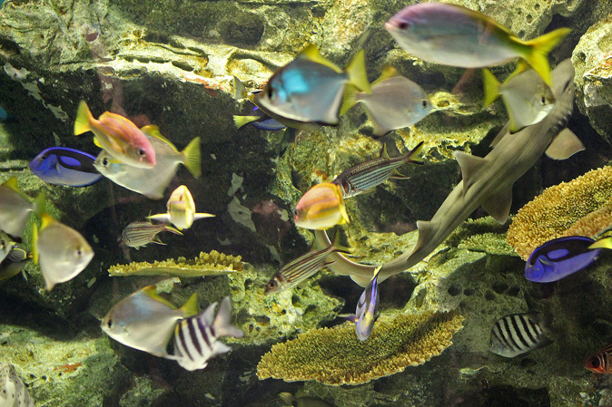しながわ水族館:カクレクマノミとサンゴイソギンチャク_b0355317_20220050.jpg