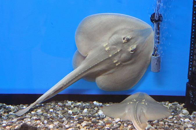 しながわ水族館:カクレクマノミとサンゴイソギンチャク_b0355317_20284575.jpg