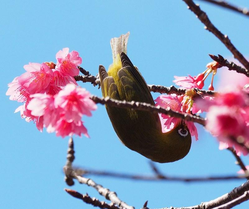 今年の桜が良い感じ♪_f0121321_1249924.jpg