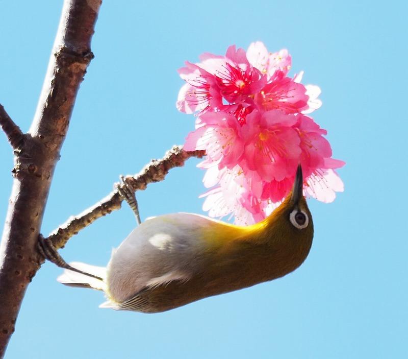今年の桜が良い感じ♪_f0121321_12503421.jpg