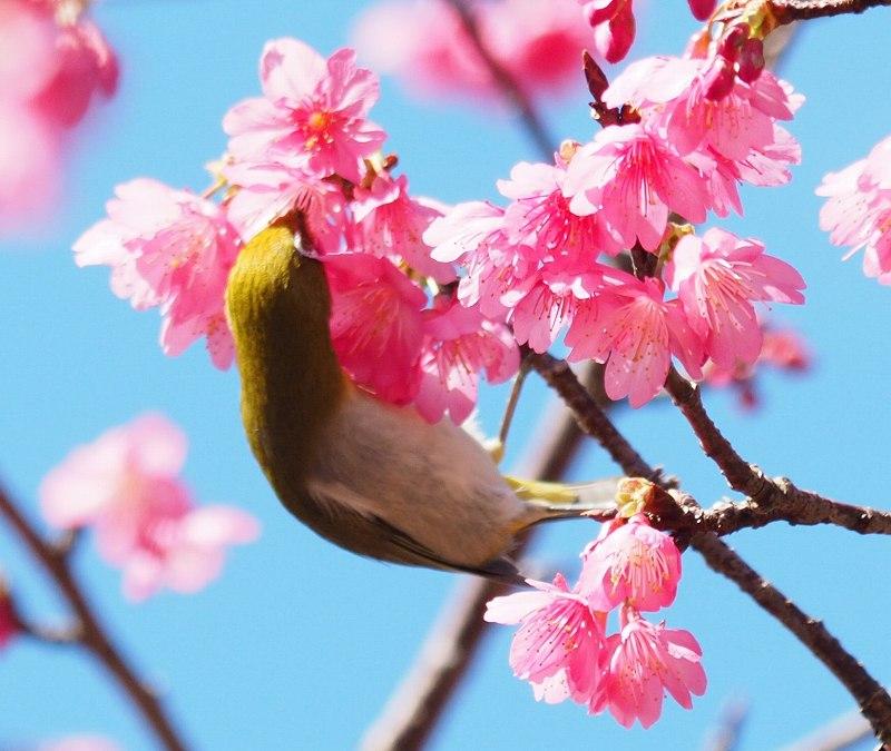 今年の桜が良い感じ♪_f0121321_1251315.jpg