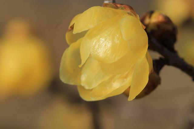 香り漂うロウバイの花_e0321325_13382697.jpg