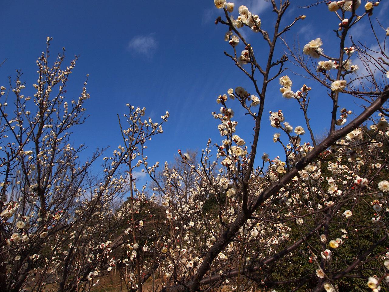 梅の花・・・_b0021375_18590642.jpg