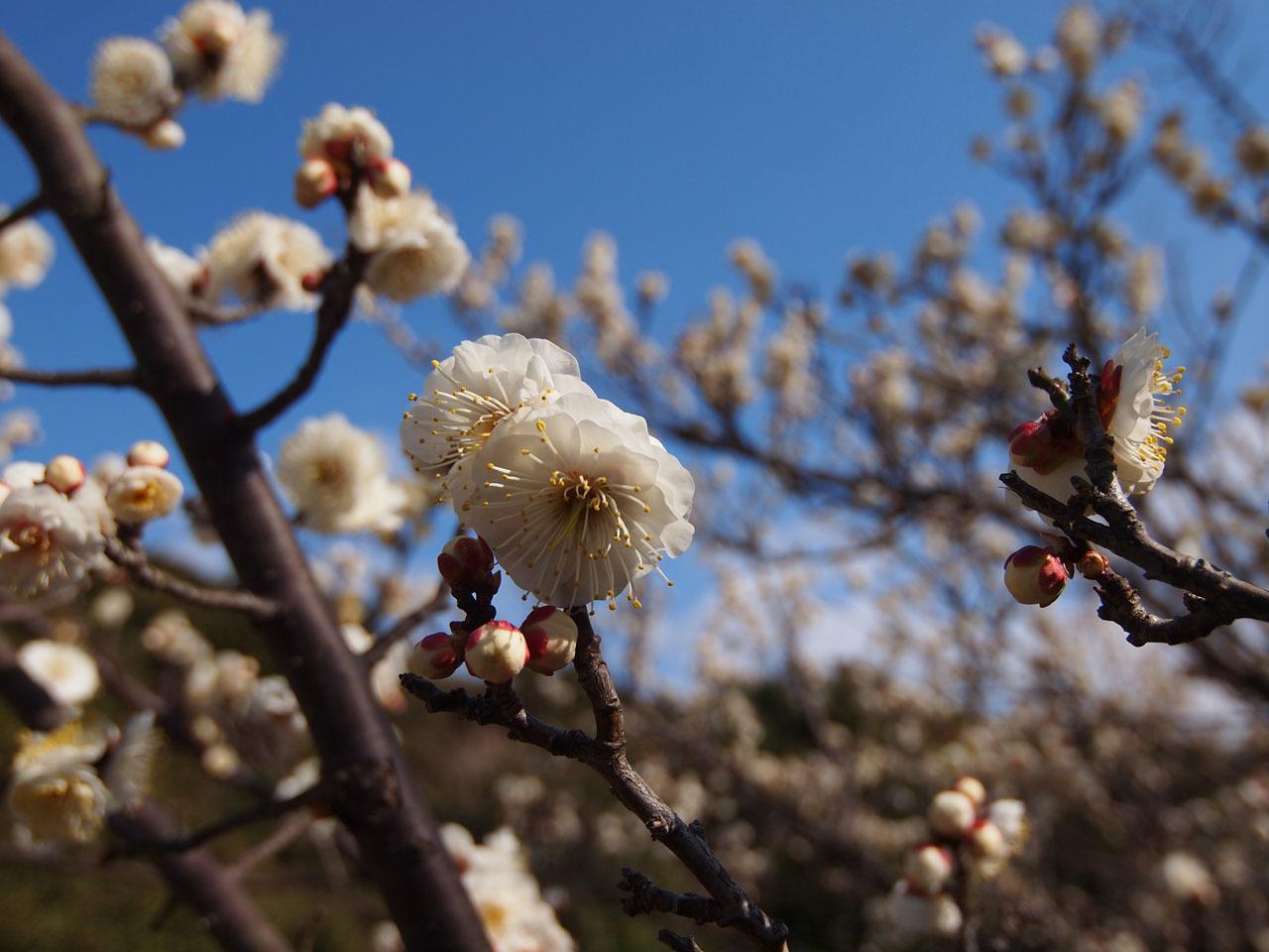 梅の花・・・_b0021375_18592340.jpg