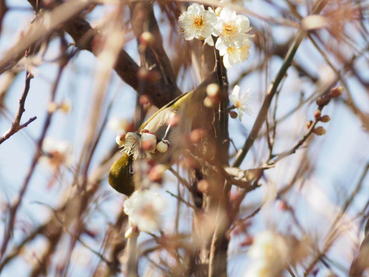 梅の花・・・_b0021375_18595619.jpg