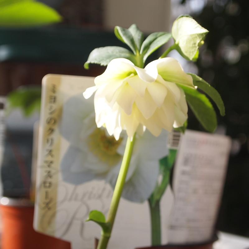 クリスマスローズ苗2つ花が咲いてます_a0292194_11291795.jpg