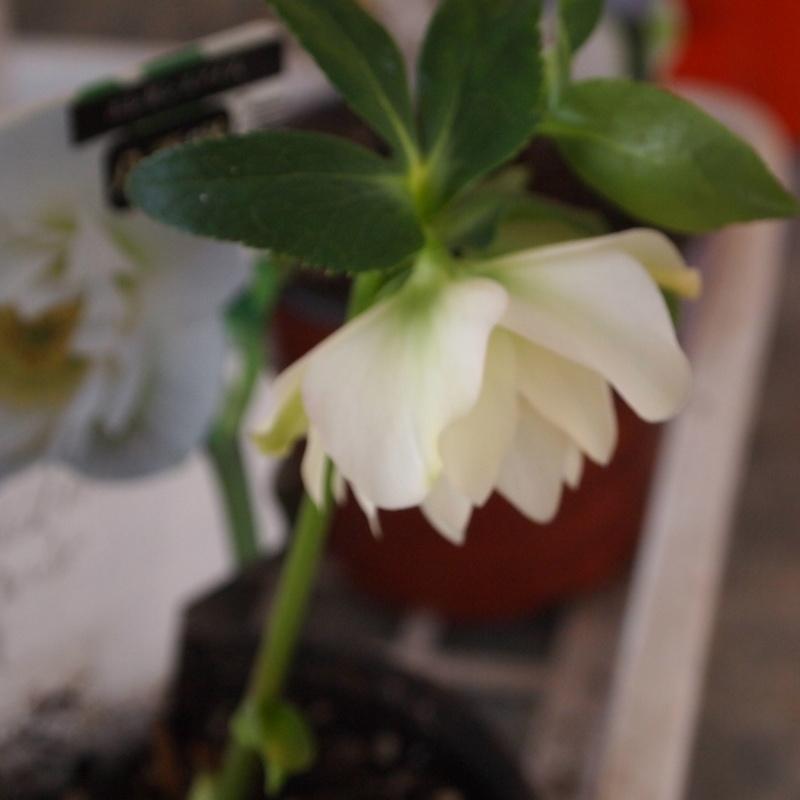 クリスマスローズ苗2つ花が咲いてます_a0292194_1130157.jpg