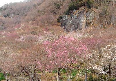 今年の梅は早いらしい_e0234016_10185251.jpg