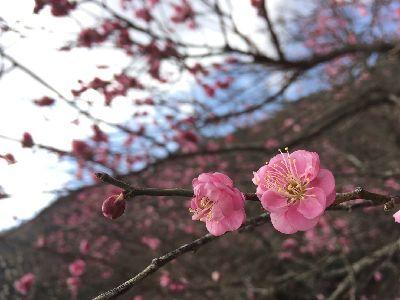 今年の梅は早いらしい_e0234016_10193397.jpg