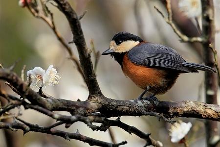 ★大人気のトラツグミ・・・先週末の鳥類園(2017.1.28~29)_e0046474_16312069.jpg