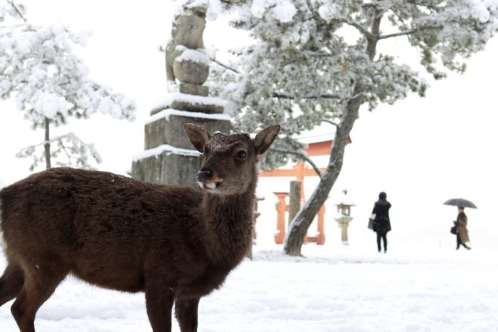 雪の宮島 広島旅行 - 11 -_f0348831_22561551.jpg