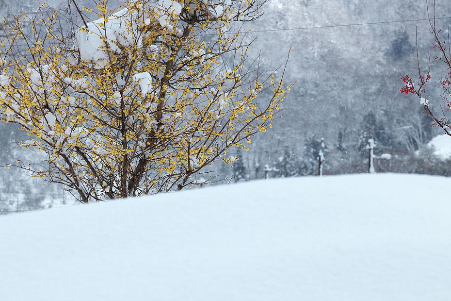 蝋梅に雪 (写真部門)_c0067040_23293656.jpg