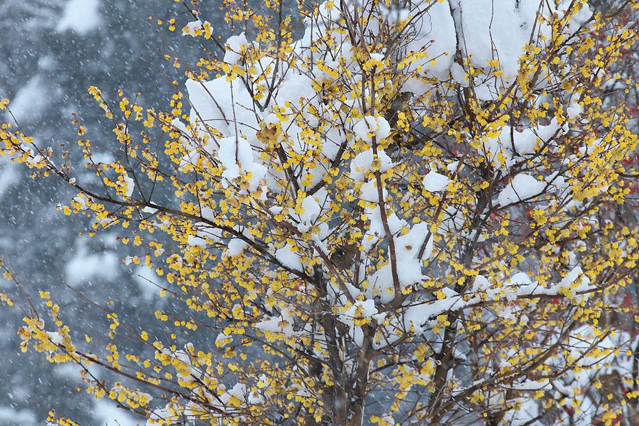 蝋梅に雪 (写真部門)_c0067040_23294665.jpg