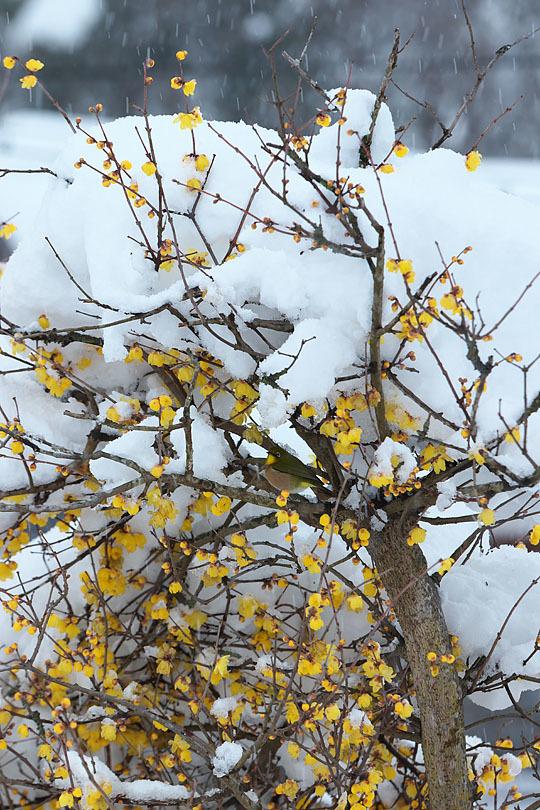 蝋梅に雪 (写真部門)_c0067040_23303570.jpg