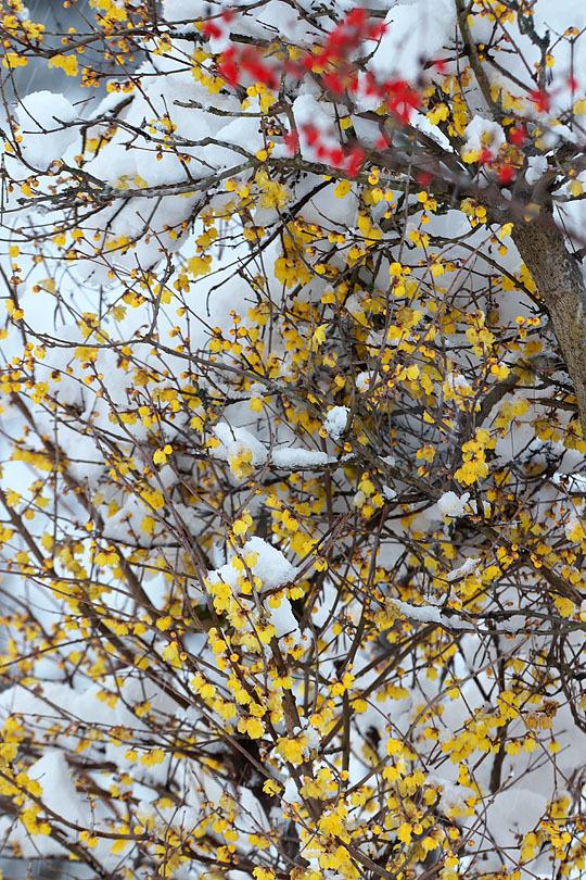 蝋梅に雪 (写真部門)_c0067040_23315409.jpg