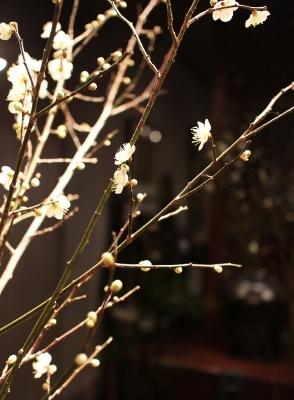 花だより 梅ひらく_a0279848_14154378.jpg