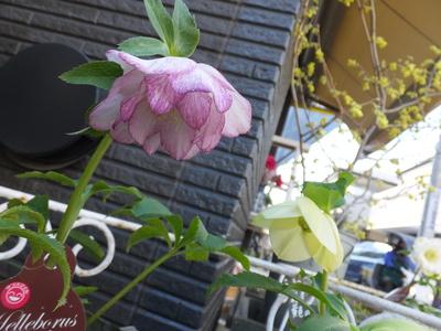 オークリーフ(三宅さんの球根切り花)_f0049672_1422436.jpg