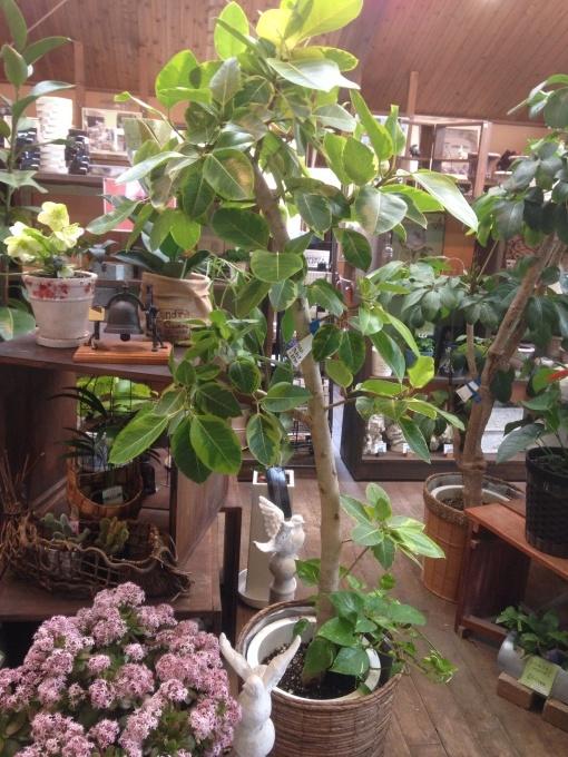 観葉植物の葉が枯れたり落ちるときには_e0128469_07404781.jpg