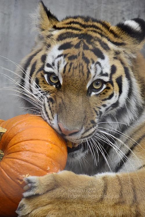 2016.10.8 宇都宮動物園☆トラのチグ姐さん【Tiger】_f0250322_20263573.jpg