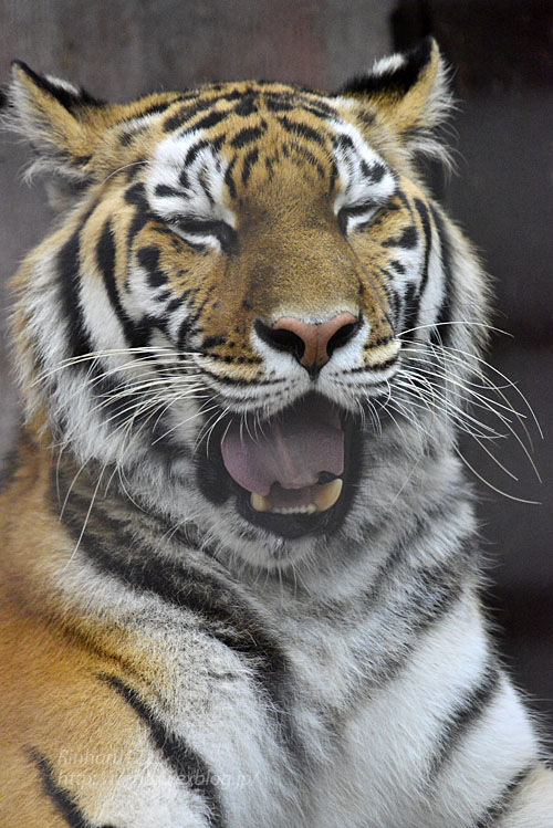 2016.10.25 宇都宮動物園☆トラのチグ姐さん【Tiger】_f0250322_20515285.jpg