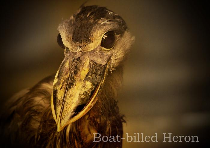 ヒロハシサギ:Boat-billed Heron_b0249597_06191780.jpg