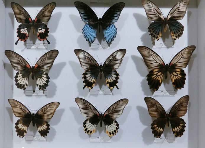 インドネシアの蝶_d0149245_13232410.jpg