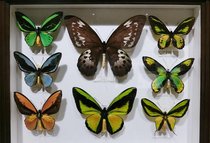 インドネシアの蝶_d0149245_13232818.jpg