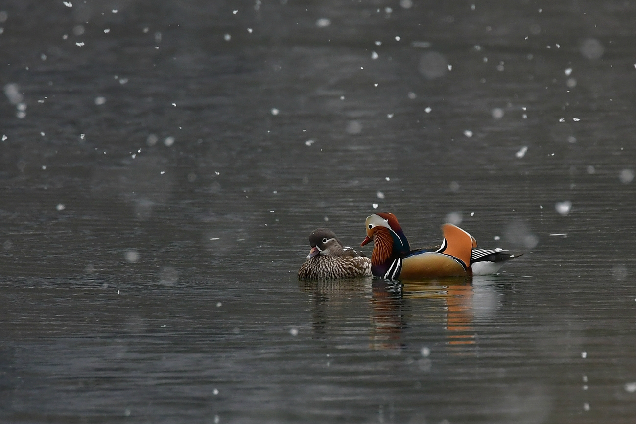 雪日になって~ オシドリ_f0053272_22405137.jpg