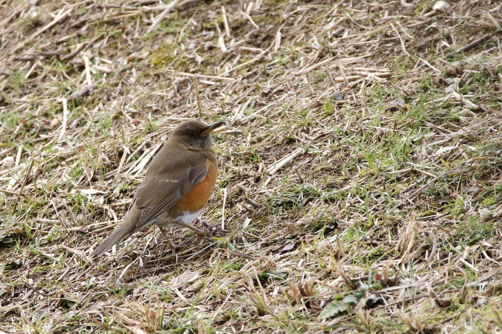 今日の鳥見(2017年2月7日)_f0235311_19283235.jpg