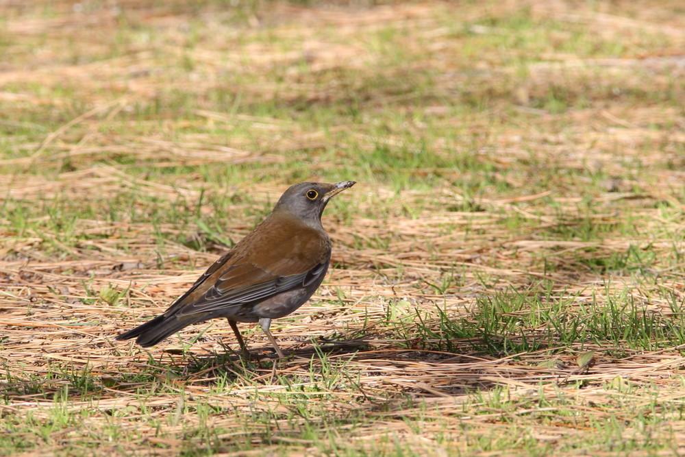 今日の鳥見(2017年2月7日)_f0235311_19351366.jpg