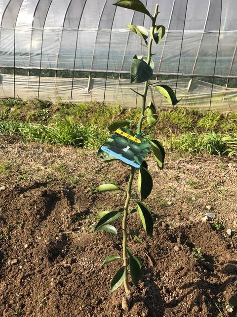 柑橘を植えました♪_f0232994_15311886.jpg