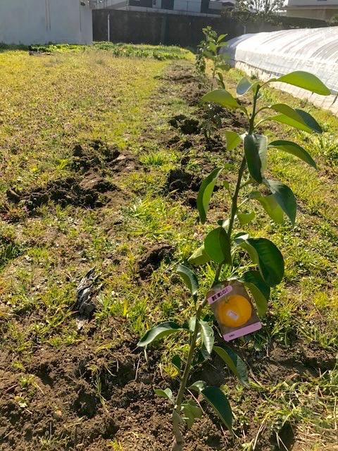 柑橘を植えました♪_f0232994_15312894.jpg