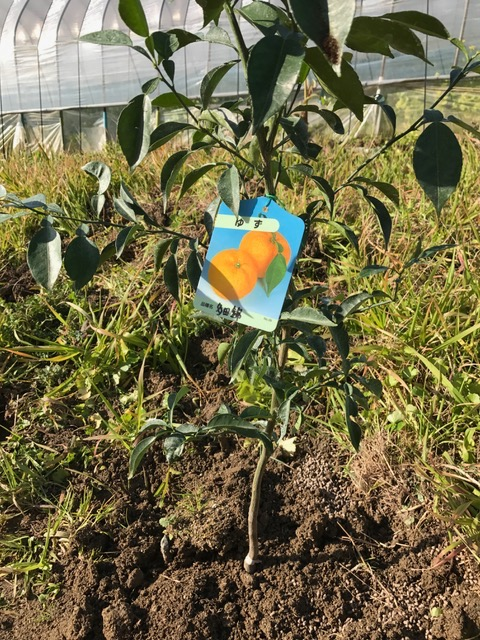 柑橘を植えました♪_f0232994_15313784.jpg