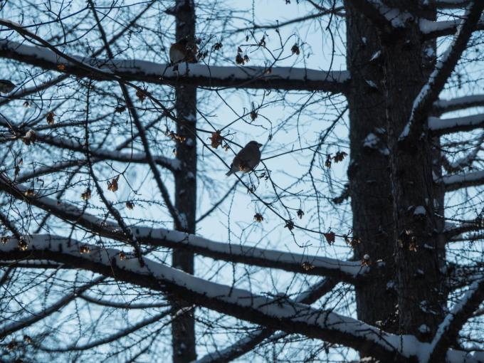 野鳥の群れに・・エゾリス君、カラマツの木の枝で固まる!_f0276498_16594761.jpg