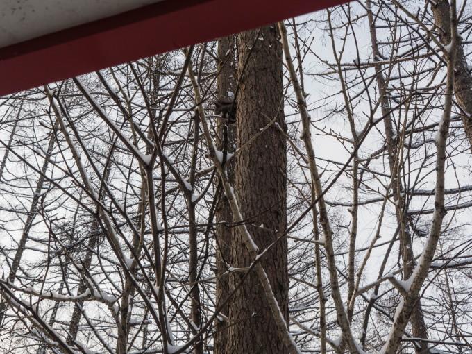 野鳥の群れに・・エゾリス君、カラマツの木の枝で固まる!_f0276498_17015682.jpg