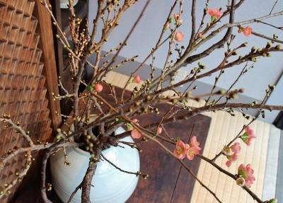 花だより ボケと桜_a0279848_13164313.jpg