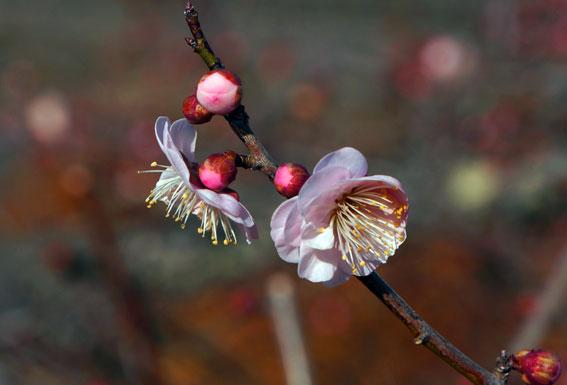 寒くてもがんばる梅の花_b0145296_942222.jpg