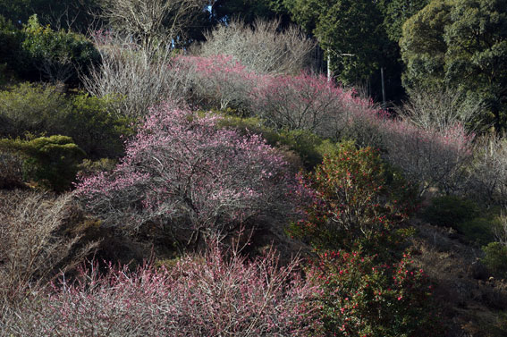 寒くてもがんばる梅の花_b0145296_94945.jpg