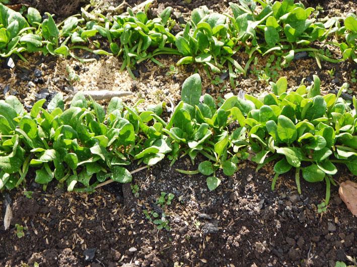 炭使い土づくり、ジャガイモの種芋植える準備完了2・8_c0014967_18102587.jpg