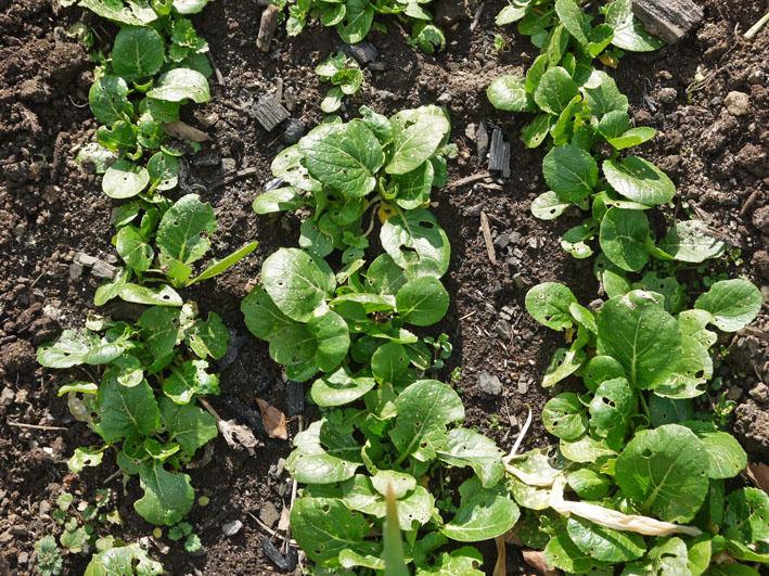 炭使い土づくり、ジャガイモの種芋植える準備完了2・8_c0014967_18103722.jpg
