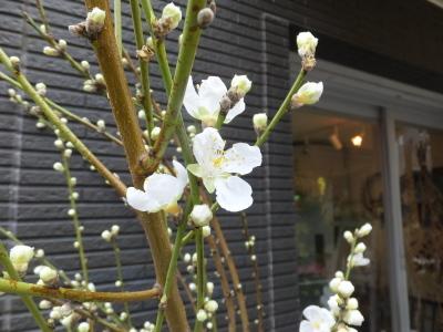 オークリーフ(春の花木)_f0049672_13425173.jpg