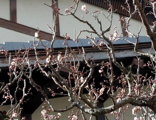 路傍の花、樹々の鳥(144) ~ 春の兆しは梅の花 ~ _b0102572_1594112.jpg