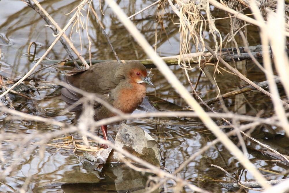 今日の鳥見(2017年2月11日)_f0235311_18083670.jpg