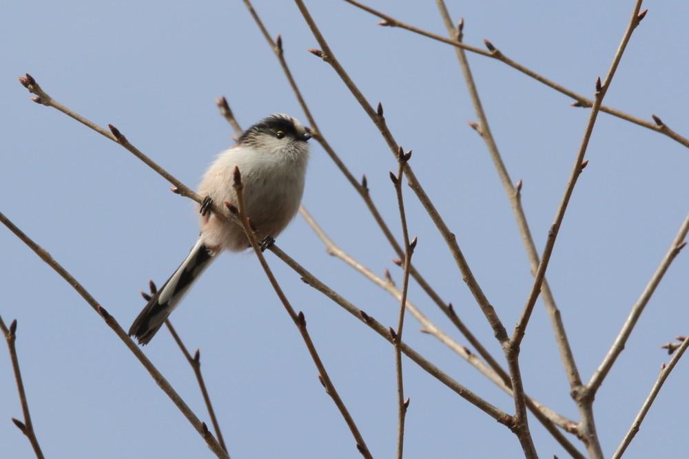 今日の鳥見(2017年2月11日)_f0235311_18152840.jpg