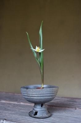 花だより ミニチューリップ 新羅高杯_a0279848_16244923.jpg