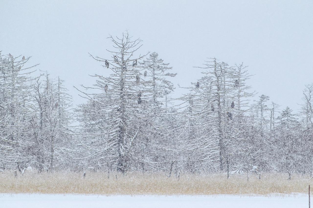 冬の北海道旅行 その9(風連湖の雪中の鷲達)_a0052080_15182893.jpg
