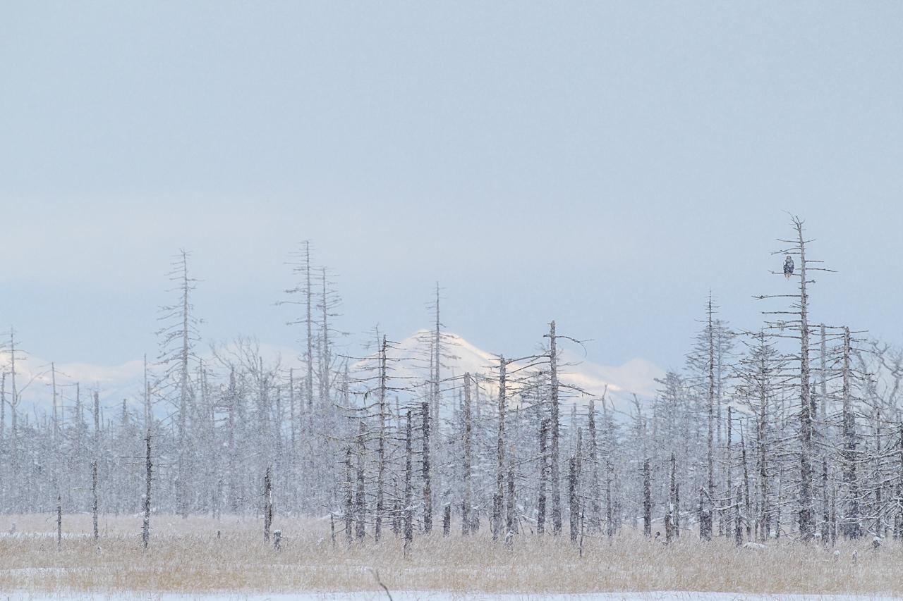 冬の北海道旅行 その9(風連湖の雪中の鷲達)_a0052080_15193077.jpg